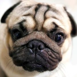 Brachycephalic Airway Disease – watch out for your smushy-faced dogs