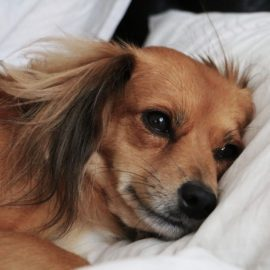 Treatments for Cognitive Dysfunction Syndrome in your Pets