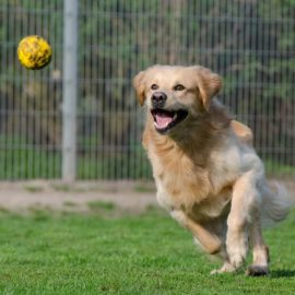 Dog Training – Teach Your Dog to Use a Ball Launcher