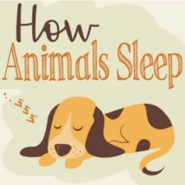 Animal Sleeping Habits Explored – Infographic